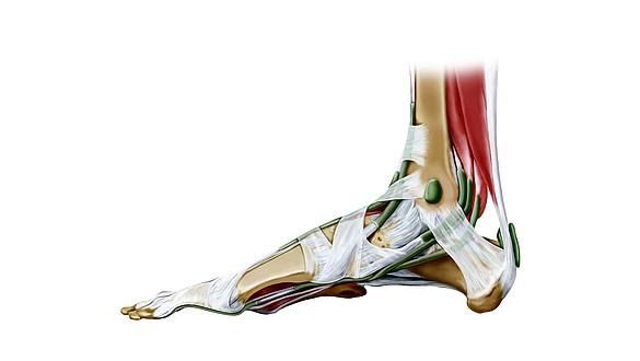 Tendones y ligamentos - Tendones y ligamentos