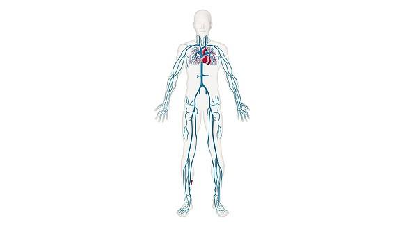 Retorno venoso - Retorno venoso