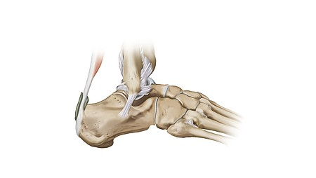 Articulación del tobillo
